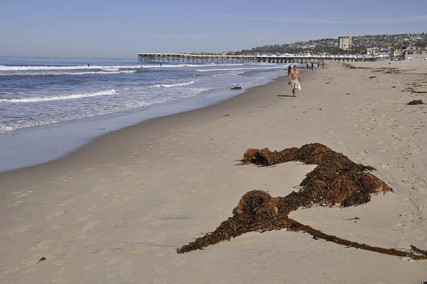 BeachKelp