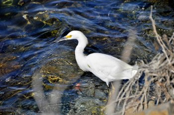 A Snowy Egret looks for small fish near the shore at Mission Bay. Click pictures for enlargements.